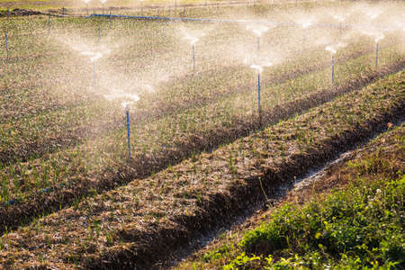 sprinklers: Green Shallot farm with water splash from sprinklers