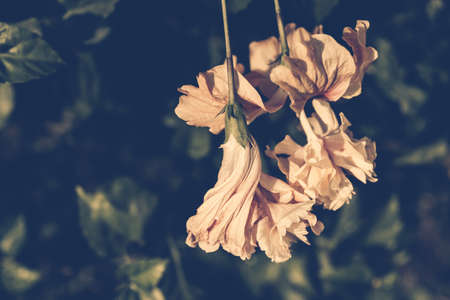 wilted: Vintage photo of wilted Hibiscus flower