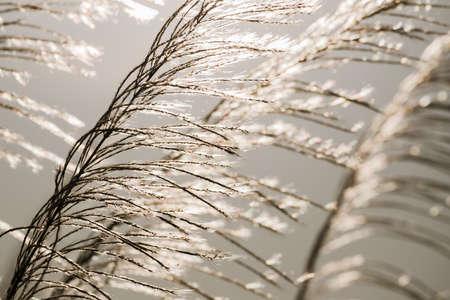 waver: Closeup Reed field waver in sunlight