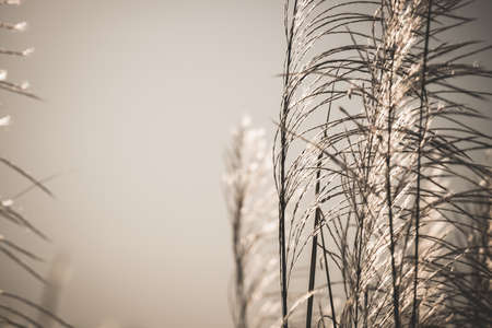 waver: Closeup Reed field in sunlight