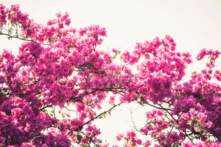 bougainvilleas: Bougainvilleas or Paper Flower blooming on the tree, vintage color style