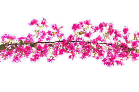 bougainvilleas: Bougainvilleas or Paper flower treetop against white background Stock Photo