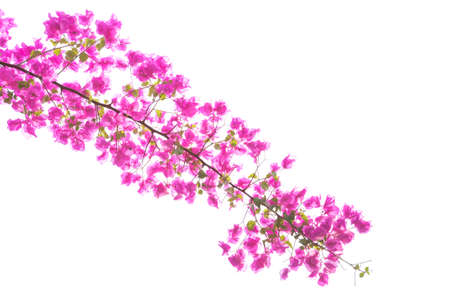bougainvilleas: Bougainvilleas or paper flowers on treetop isolated (against white sky)