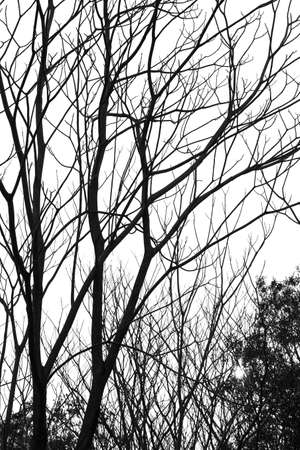 leafless: Silhouette leafless trees in the forest