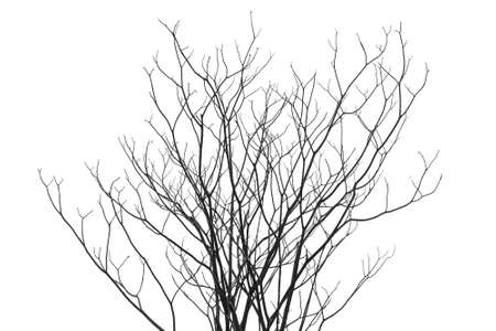 leafless: Leafless tree form isolated (against white sky), Tabebuia tree