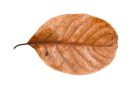 dry leaf: Dry leaf isolated on white background Stock Photo