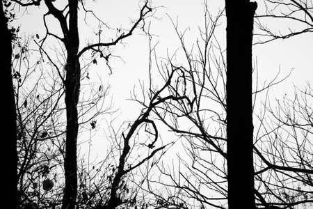 leafless: Silhouette leafless tree in the forest Stock Photo