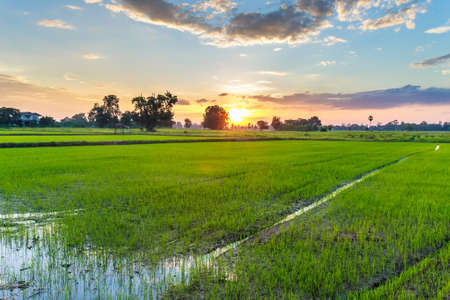 Sunset at rice farm in countryside of Thailand