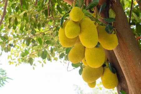 Jack fruit produce plentifully on the tree
