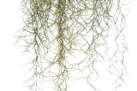 Closeup Spanish moss isolated on white background, Tillandsia usneoides in science name Stock Photo