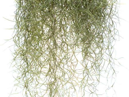 クローズ アップ スペイン語 moss 上孤立した白い背景に、科学名サルオガセモドキ- 写真素材