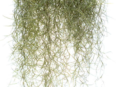 Closeup Spanish moss isolated on white background, Tillandsia usneoides in science name