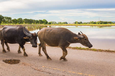 Thai buffaloes walking on the road in countryside of Thailand