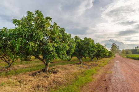 태국의 시골 인 피 an눌로 (Noen Maprang)의 망고 농장