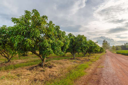 Mango farm at Noen Maprang, Phitsanulok, countryside of Thailand 免版税图像