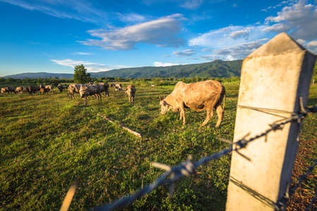 Thai beef cow in the cattle farm