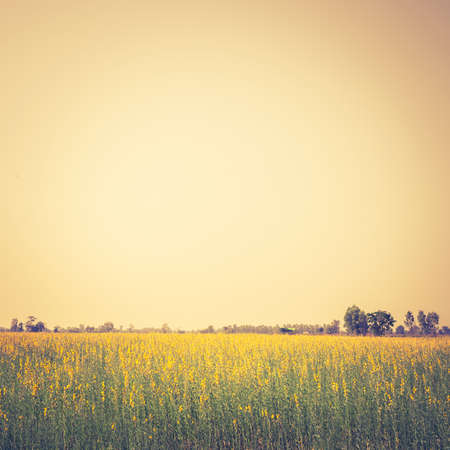 Nature background, Yellow hemp field under clear sky Stock Photo