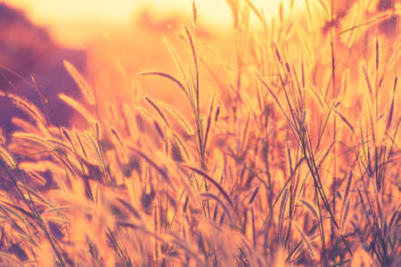 Grasses flower blooming in the meadow at sunset, vintage color