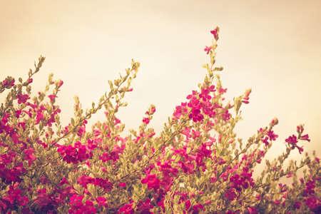 Vintage flower bush named Ash Plant, Barometer Brush, Purple Sage, or Texas Ranger