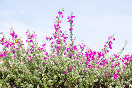 Flower bush named Ash Plant, Barometer Brush, Purple Sage, or Texas Ranger Archivio Fotografico