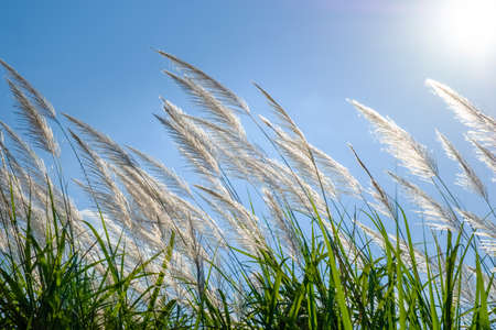 White reed sway in the wind on blue sky, winter in Thailand