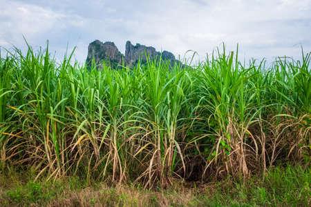 Sugar cane farm at Noen Maprang district, Phitsanulok, countryside of Thailand