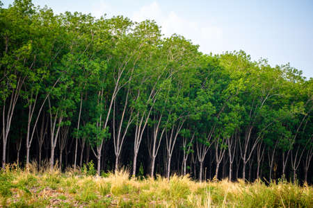 Rubber trees growing in the farm, countryside of Thailand