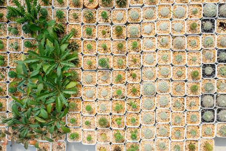 Pattern of small cactus in white pots from top view, collection of cactus in the house plant Stok Fotoğraf