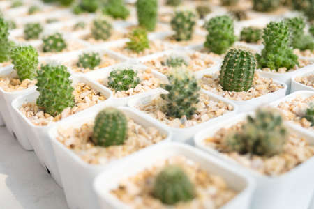 Small cactus in white pot, cactus collection for sale in the cactus shop Stok Fotoğraf