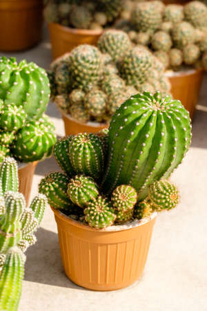 Mature green cactus in the house plant