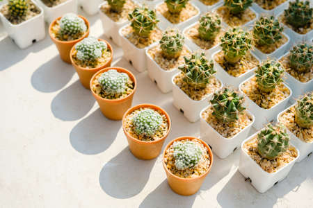 Rows of small cactus pots in sunlight, collection of small cactus Standard-Bild - 123169847