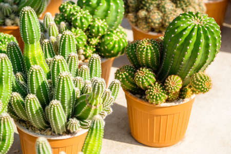 Mature green cactus in the house plant Standard-Bild - 123169850