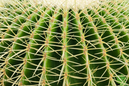 Closeup thorn of circle cactus, plant texture Stok Fotoğraf