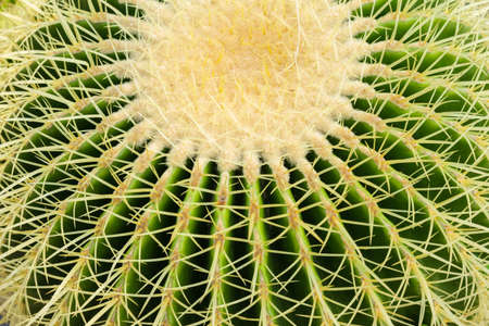 Closeup thorn of circle cactus, plant texture Standard-Bild - 123170075