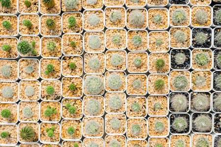 Pattern of small cactus in white pots from top view, collection of cactus in the house plant Standard-Bild - 123170085