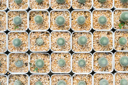 Pattern of small cactus in white pots from top view Stok Fotoğraf