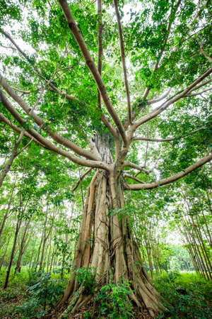 The old Banyan tree in the rubber farm, the kind of tree that farmer leave it grow caused by the Thai myth to protect the forest