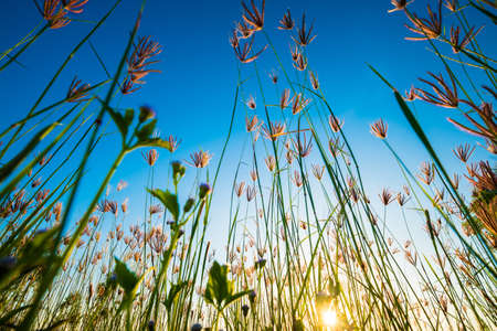 Grass flowers blooming in the field at sunset with blue sky, low angle from the ground or ant's eye view