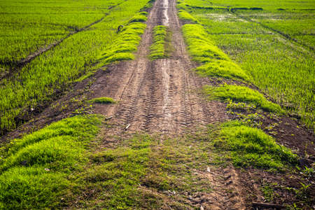 Dirt road with tire tracks in the rice farm
