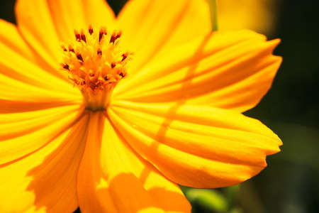 Closeup yellow cosmos blooming in the garden, natural cosmos background with copy space
