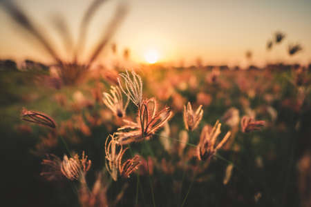 Grass flowers in the field at sunset, countryside in vintage color style