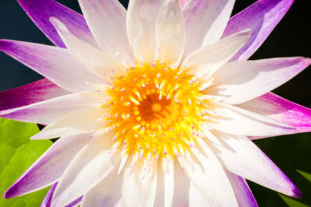 Closeup white and violet waterlily blooming in bright sunlight Stockfoto