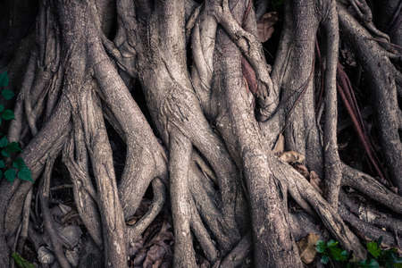 Closeup deep seated roots into the ground of an old Banyan tree