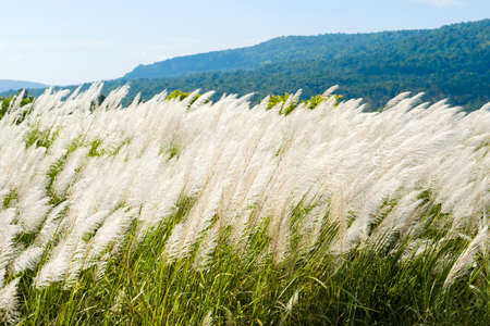 Reed field in countryside start blooming in winter of Thailand