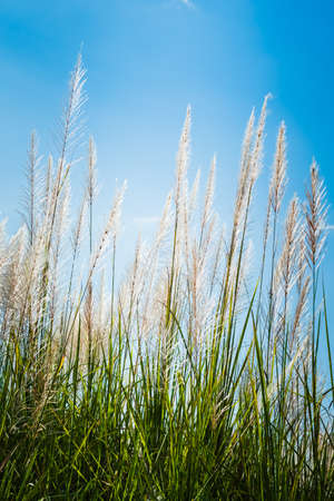 Reed field in countryside blooming on blue sky, winter in Thailand
