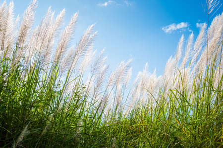 Reed field in countryside blooming on blue sky, winter in Thailand Stockfoto - 133078630