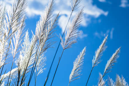 Closeup reed in countryside blooming on blue sky, winter in Thailand Stockfoto