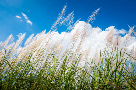 Reed field in countryside blooming on blue sky and big white clouds, winter in Thailand