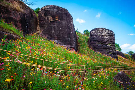 Straw flowers garden on the mountain, tourist attraction at Phu Hin Rong Kla National Park, Thailand
