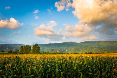 Beautiful corn farm before sunset, countryside of Thailand (Noen Maprang district, Phitsanulok)